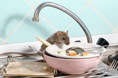 A young rat in a dirty sink.